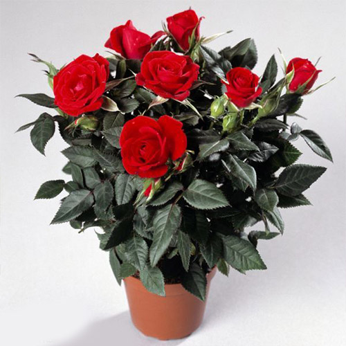 red potted roses tellys greenhouse