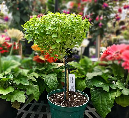 topiary basil