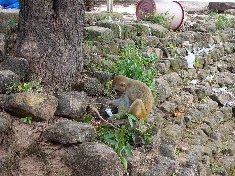Monos en Monywa, Myanmar