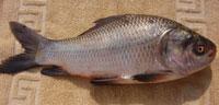 botche fish