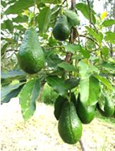 Avacodo Fruit Trees… ఆవకాడో చెట్టు ...
