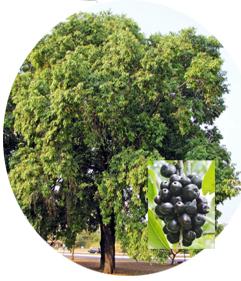 Black Plum Tree….నేరేడు చెట్టు