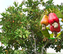 Cahew Apple Tree.. … జీడి  చెట్టు...