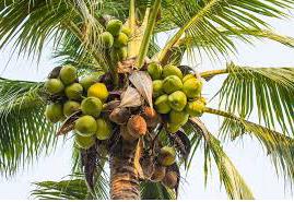 Coco Nut Trees….కొబ్బరి చెట్లు