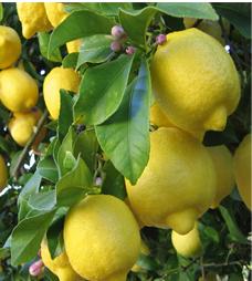 Lemon Tree…నిమ్మకాయ చెట్టు