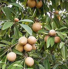 Sapodilla Fruit Trees… సపోటా పండ్ల చెట్లు...