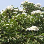 ప్లూమేరియా ప్యూడికా ( Plumeria pudica)