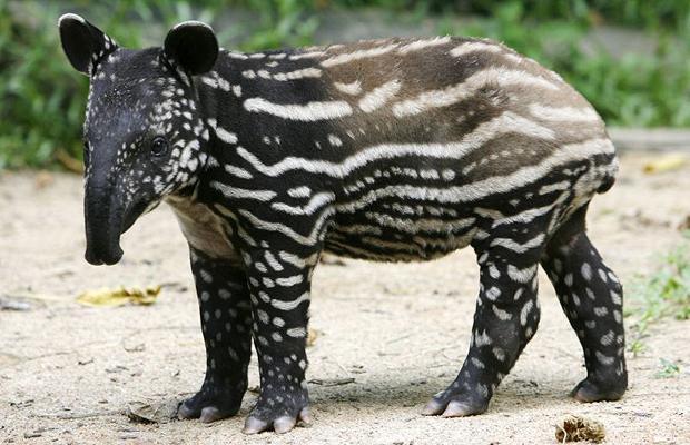 Tapir jove