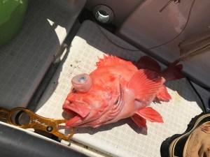 アコウダイ 手巻き深海 備忘録釣ってから食べるまで