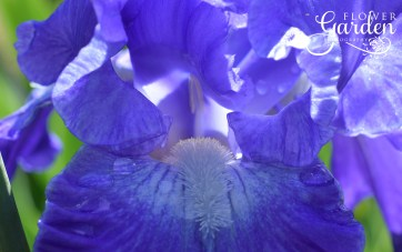 Bearded-Iris-City-Lights-for-Web