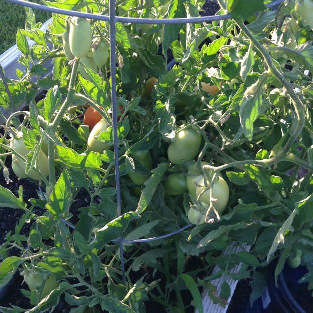 plan your summer vegetable garden