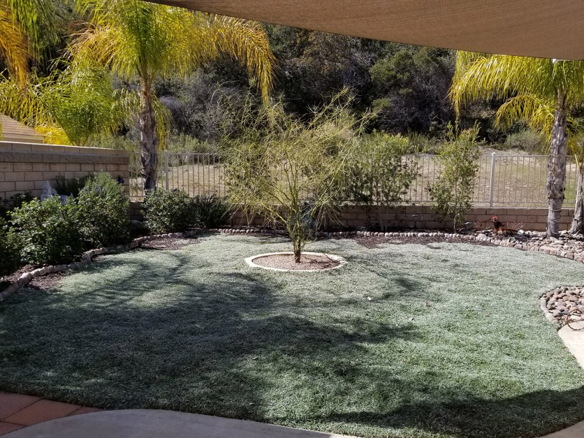 Dymondia grass alternative