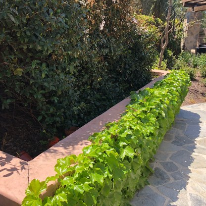 Raised planter box with Ivy plantings and flagstone walkways