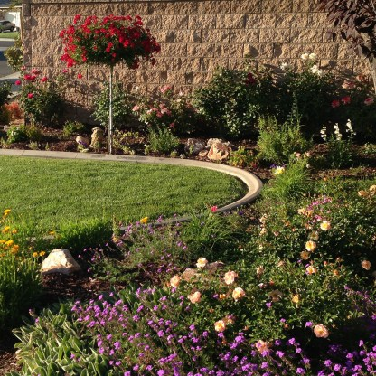 choosing companion plants for your roses