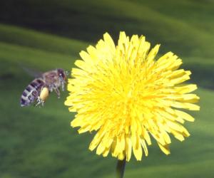 Honeybee with pollen on it's leg