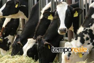 mucche crisi latte