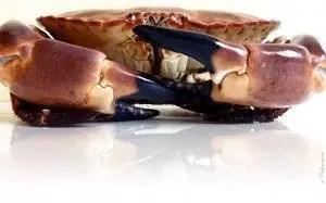 cuisson crabe, cuisson dormeur, cuisson tourteau, temps de cuisson tourteau, cuisson tourteau congelé, cuisson tourteau eau froide, cuisson tourteau sous vide