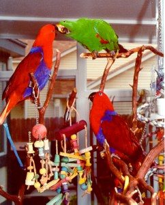 Two Female Eclectus and One Male Eclectus