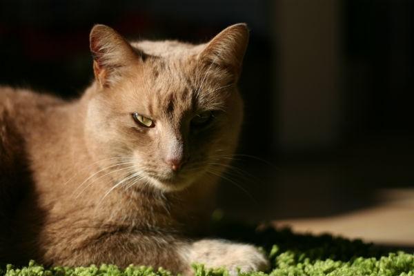 ryžas katinas