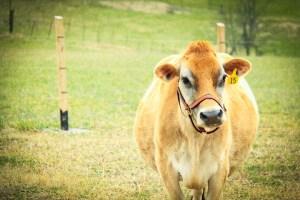 raw milk, raw dairy, raw milk farmer, raw dairy farmer, raw milk tennessee, raw dairy tennessee, raw dairy farm, raw milk farm, raw milk farm tennessee, raw dairy farm tennessee, organic raw milk tennessee