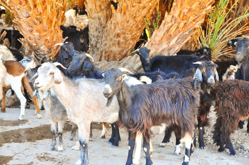 Chèvres à Tata Maroc