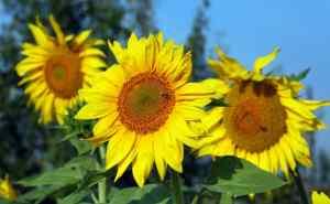 """Sonnenblumen, die im Garten wachsen, brechen durch Lehmboden. """"Width ="""" 800 """"height ="""" 494 """"srcset ="""" https://i2.wp.com/www.tenthacrefarm.com/wp-content/uploads/Sunflower-800x494.jpg?fit=300%2C300&ssl=1 800w, https: / /www.tenthacrefarm.com/wp-content/uploads/Sunflower-1024x633.jpg 1024w, https://www.tenthacrefarm.com/wp-content/uploads/Sunflower-300x185.jpg 300w, https: //www.tenthacrefarm .com / wp-content / uploads / Sunflower-768x474.jpg 768w, https://www.tenthacrefarm.com/wp-content/uploads/Sunflower-1536x949.jpg 1536w, https://www.tenthacrefarm.com/wp -content / uploads / Sunflower-2048x1265.jpg 2048w, https://www.tenthacrefarm.com/wp-content/uploads/Sunflower-scaled.jpg 1658w """"Größen ="""" (maximale Breite: 800px) 100vw, 800px"""