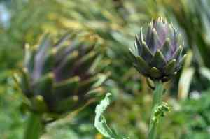 """Artischockenpflanzen: Ton-Busting-Pflanzen, die die Verdichtung bekämpfen """"width ="""" 800 """"height ="""" 530 """"srcset ="""" https://i2.wp.com/www.tenthacrefarm.com/wp-content/uploads/artichoke-800x530.jpg?fit=300%2C300&ssl=1 800w, https: / /www.tenthacrefarm.com/wp-content/uploads/artichoke-1024x678.jpg 1024w, https://www.tenthacrefarm.com/wp-content/uploads/artichoke-300x199.jpg 300w, https: //www.tenthacrefarm .com / wp-content / uploads / artichoke-768x509.jpg 768w, https://www.tenthacrefarm.com/wp-content/uploads/artichoke-1536x1017.jpg 1536w, https://www.tenthacrefarm.com/wp -content / uploads / artichoke-2048x1356.jpg 2048w, https://www.tenthacrefarm.com/wp-content/uploads/artichoke-680x450.jpg 680w, https://www.tenthacrefarm.com/wp-content/uploads /artichoke-scaled.jpg 1547w """"Größen ="""" (maximale Breite: 800px) 100vw, 800px"""