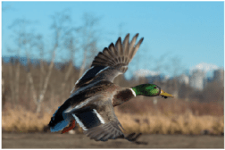 Photo 9. A Mallard takes flight at Burnaby Lake (photo credit: C. Hayden)