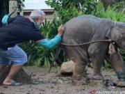 Dokter hewan membius anak gajah yang kakinya terluka karena jerat untuk proses evakuasi melalui sungai menggunakan sampan ke CRU Serbajadi, Aceh Timur, Kamis (20/6/2019). Antara Aceh/Hayaturrahmah