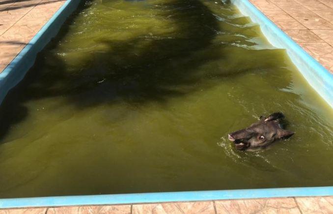 Pela terceira vez, anta é resgatada de piscina em chácara próxima ao aeroporto Santa Maria