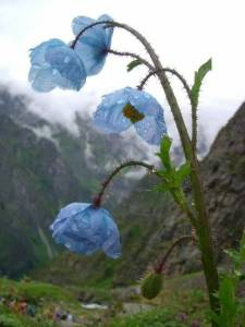 Blue Himalayan poppy, Valley of Flowers, Uttarakhand India