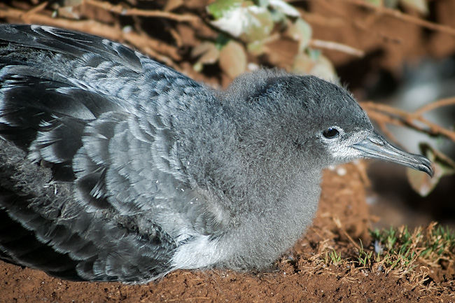 Baby shearwater