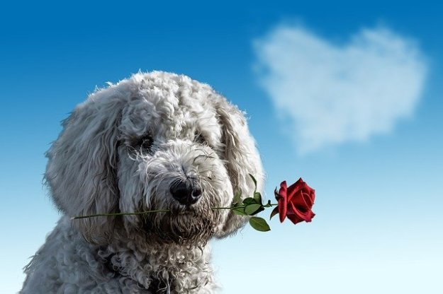 Image: Dog with a rose by Annaca at Pixabay