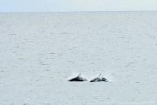 Muitos golfinhos nadavam juntos no Estreito de Magalhães