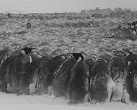 https://i2.wp.com/www.terradaily.com/images/penguin-blizzard-incubating-bg.jpg