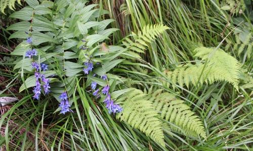 fiori blu di montagna