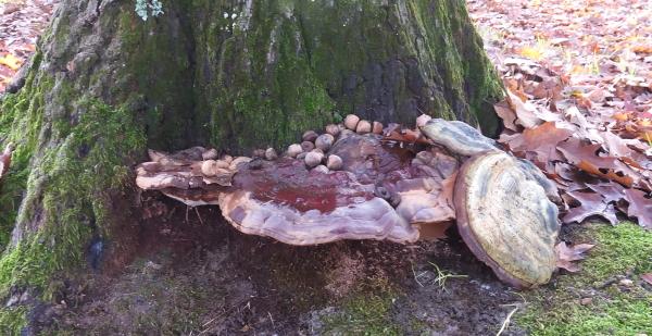 fungo legnoso ganoderma