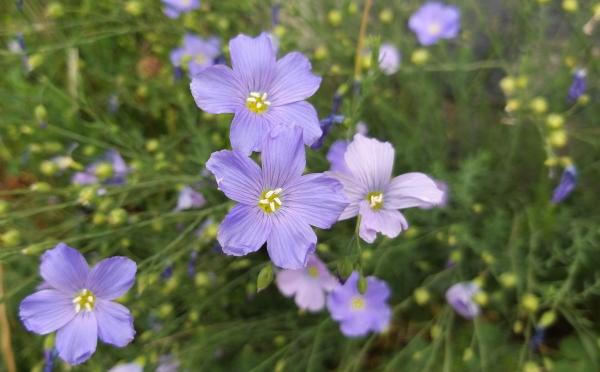 fiori del lino alpino