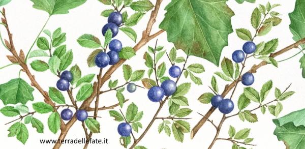 Daniela Guido frutti del prugnolo