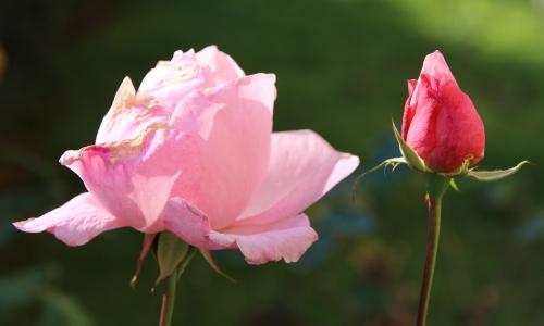 ultime rose
