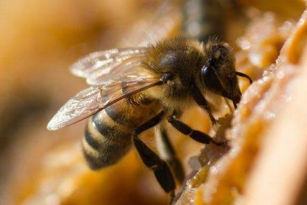 Demain, mangera-t-on encore du miel français ?