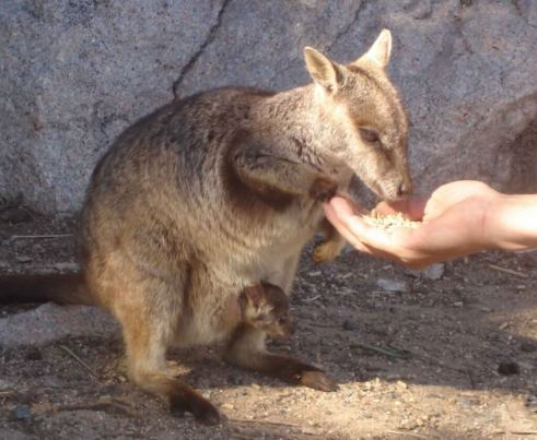 Magnetic Island Wildlife Rock Wallaby with baby in pouch