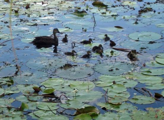 Riverway-Ducklings-on-Ross-River tropical Townsville