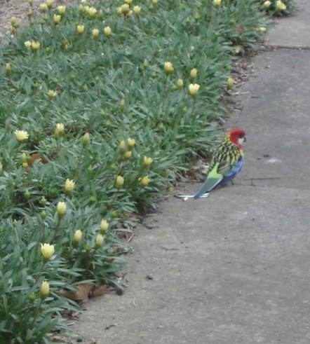 Eastern Rosella common in wildlife habitats along rivers and streams