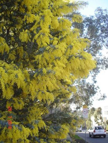 Golden-Wattle brightens up the day Greensborough Melbourne