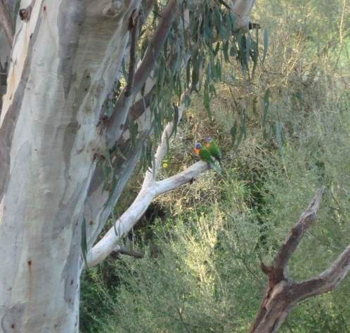 Lorikeets-perched in-a GumTree Greensborough Melbourne