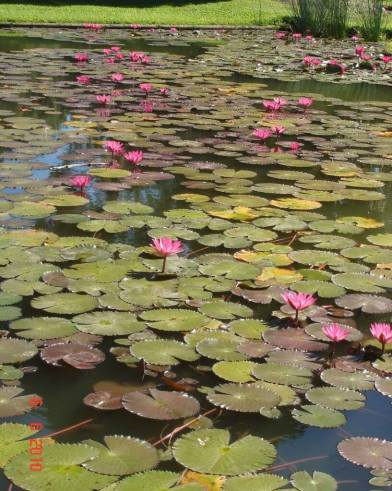 Anderson-Park-Lotus Flowers were a beautiful sight on the pond
