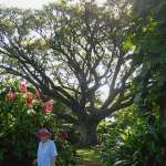 Queens-Garden-tropical flowers and huge shady trees tropical Townsville