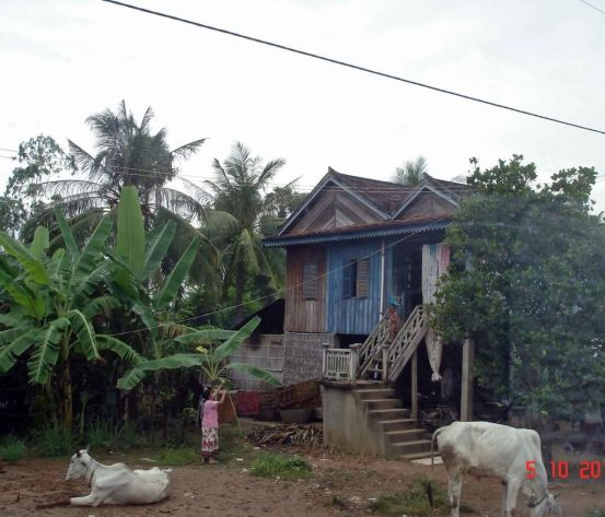 One or two white cows tethered in the front yard. Traditional homes. Cambodia