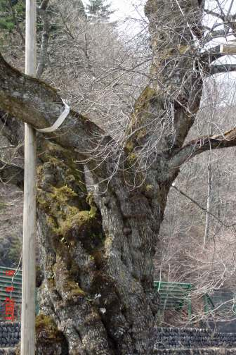 450 year old tree trunk of  transplanted cherry blossom trees.